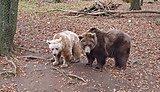 Bears at Dartmoor Zoo