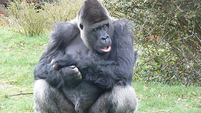 Silverback Gorilla Arnhem Zoo