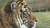 Tiger Arnhem Zoo