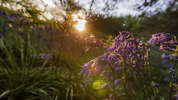 Bluebells in the sunset
