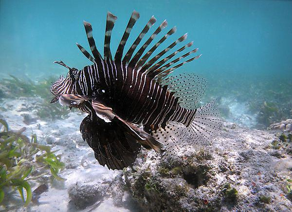 Preventing a LIONfish invasion in the MEDiterranean through early response and targeted REmoval (RELIONMED)