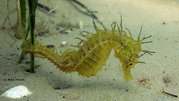 Seahorse image courtesy of Mike Pallett