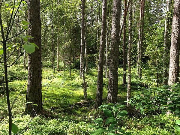 The Swedish forest where the ancient lake was once found