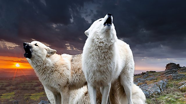 Wolves on Dartmoor - student life magazine