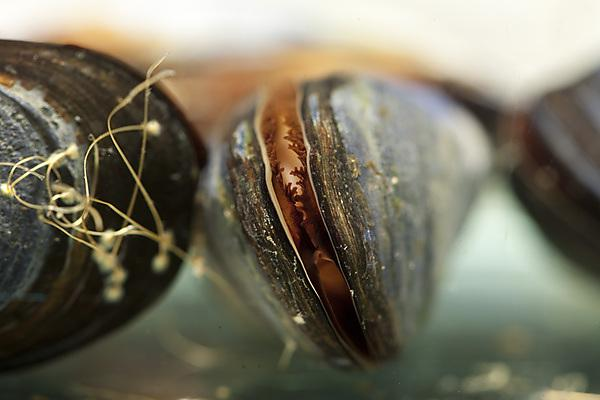 Mussels in ecotoxicology lab photo