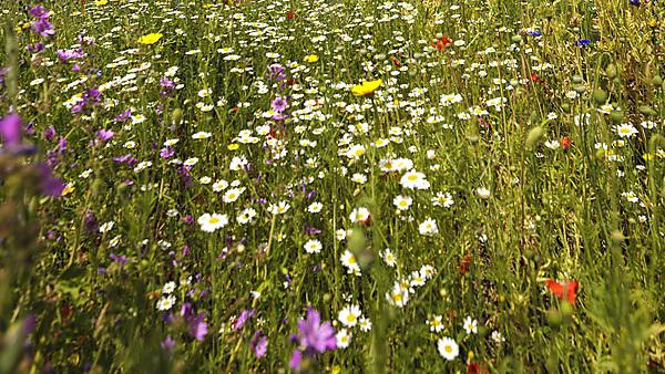Wildflowers in Jigsaw Garden