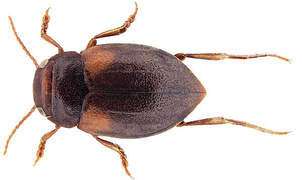 Deronectes latus
