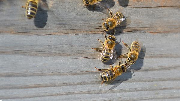 Two bees demonstrating 'trophallaxis' - sharing hive pheromones with the mouthparts.