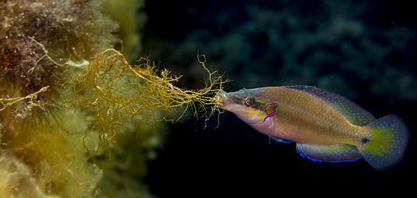 A nesting male ocellated wrasse (Symphodus ocellatus) collecting algal fragments to build its nest - image credit: Natascia Tamburello