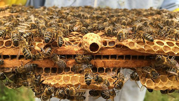 An empty queen cell means that a new queen is taking over the hive