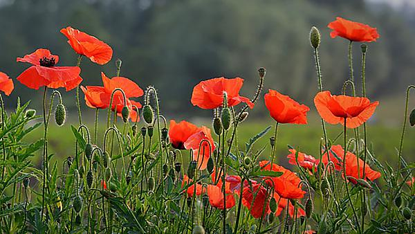<p>A picture of a red poppy field.</p>