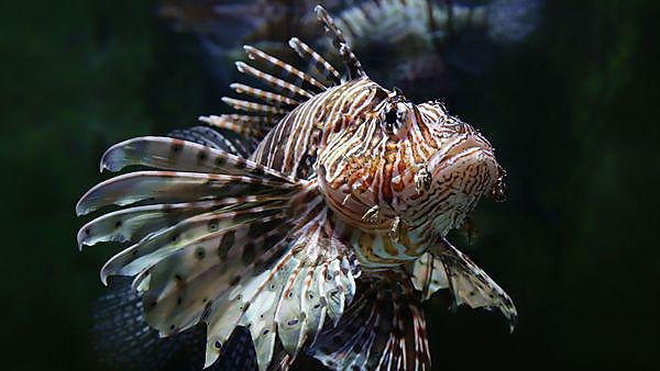 <p>Close-up view of a common lionfish (Pterois miles) courtesy of Shutterstock,&nbsp;Copyright: Henner Damke<br></p>