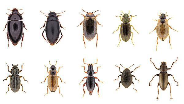 <p>Water beetles - David Bilton research. Images from David Bilton</p>