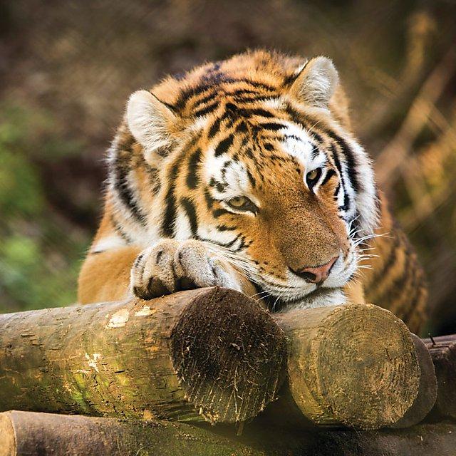 <p>  Amur tiger named Vladimir   <br></p>