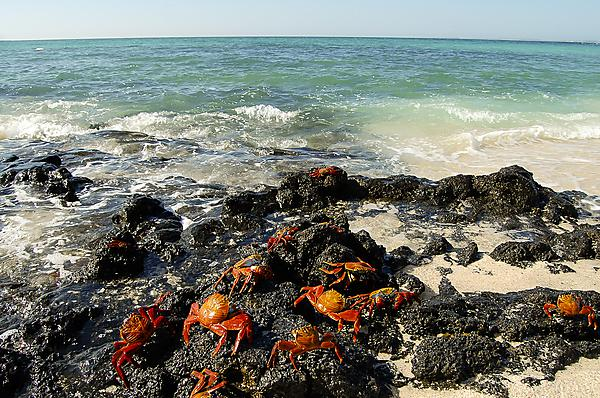 <p>Sally lightfoot crabs <i>(Graspus graspus</i> L.) on the coast of the Galápagos Islands, Ecuador. The islands are reknowned internationally for their biodiversity and the work undertaken there by Charles Darwin during the voyage of the <i>Beagle</i>.</p>