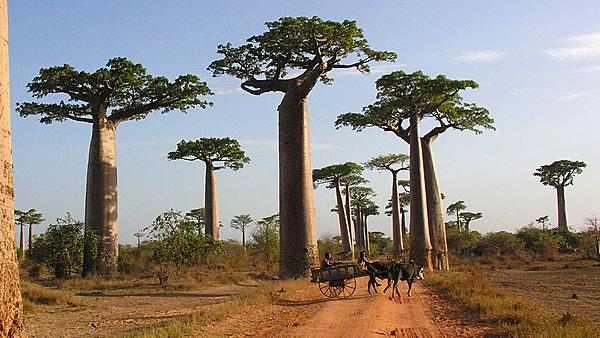 <p>Baobab tree in Madagascar</p> Usage: Do not use. Please contact sei@plymouth.ac.uk for use.
