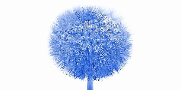 <p>blue dandelion<br></p>