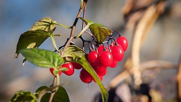 <p>Deadly nightshade berries in The Fall. Shutterstock image</p>