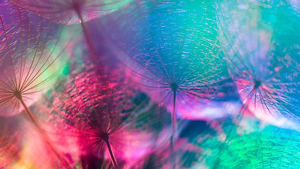 <p>Colorful pastel background - Vivid color abstract dandelion flower - extreme closeup with soft focus, beautiful nature details, very shallow depth of field by bubutu, courtesy of Shutterstock<br></p>