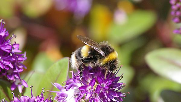 Bumble bee (bombus terrestris) sitting on a purple flower