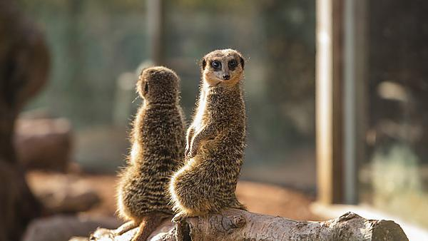 <p>Meerkats at Dartmoor Zoo</p>