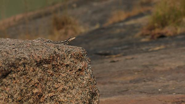 <p>  The female of the south Indian Rock Agama or the Peninsular Rock Agama looks on from a rock, potentially camouflaged against predators or taking a sun bath to gain warmth. Taken in Ramnagara, Karnataka, India. Image courtesy of Getty Images. <br></p>