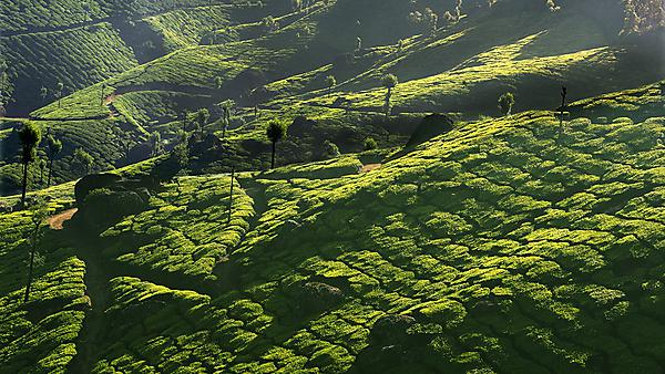 <p>  </p><div>India, Kerala, Western Ghats Mountains, tea plantations, elevated view. Image courtesy of Getty Images.</div><p></p>