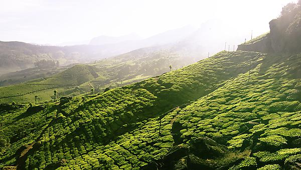 <p>  </p><div>India, Kerala, Western Ghats Mountains, tea plantations, elevated view. Image courtesy of Getty Images.</div>  <br><p></p>