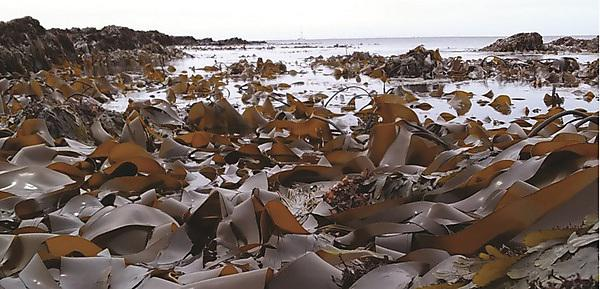 <p>Seaweed</p>