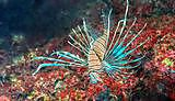 University scientists to play key role in tackling lionfish invasion
