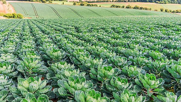 <p>Cabbage field. Rows of cabbages ready for picking</p>