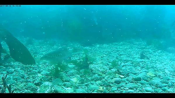 <p>Cuttlefish (Sepia officinalis)</p>