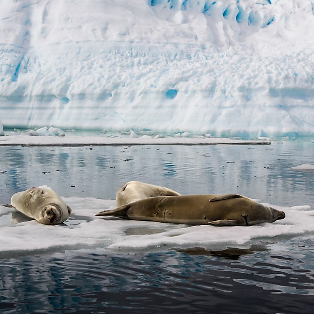 <p>Seals sunbathing on an iceberg</p>