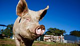 University researchers to tackle drug-resistant disease that jumps from pigs to humans