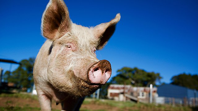 <p>Getty images 805728436 Pig</p>