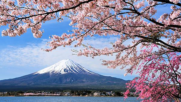 <p>                 Mount Fuji and Cherry tree<br></p>