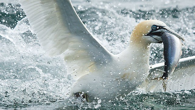 <p>Gannet feeding.  Image courtesy of Getty images.&nbsp;</p>