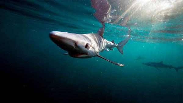 <p>Blue shark</p>