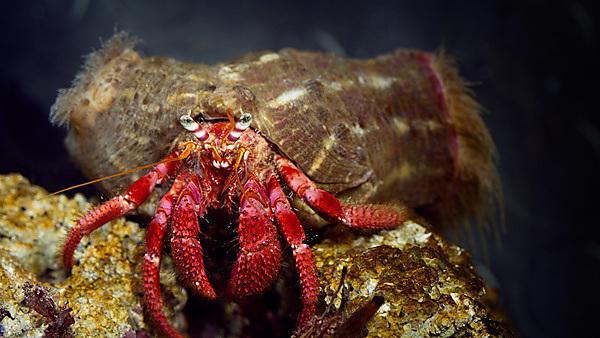 <p><i>Pagurus Bernhardus</i> Hermit Crab Symbiotic with Actinaria<br></p>
