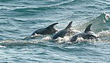 New research reveals England's only resident bottlenose dolphins
