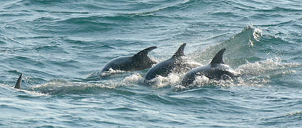 <p>A group of Cornish Bottlenose dolphins - picture by Dan Murphy</p>