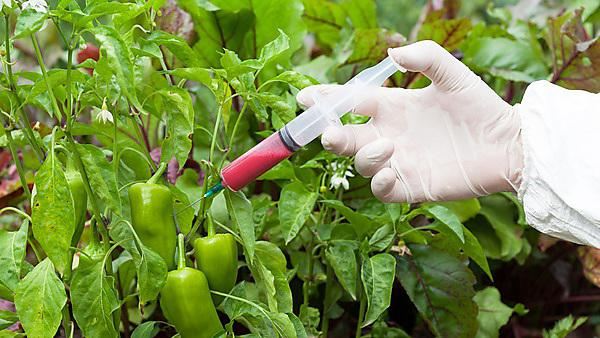 <p>Genetically modified vegetable - GM food.<br></p>