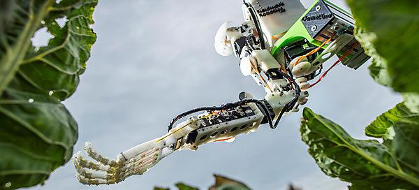 <p>Robot arm picking cauliflowers</p>
