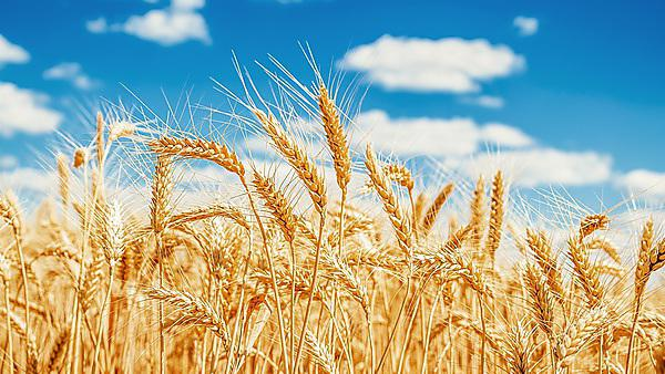 <p>Gold wheat field and blue sky</p>