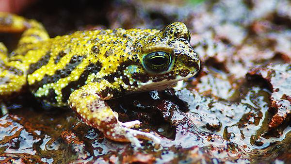 Rocky habitats need to be protected for endangered amphibians to survive, study shows