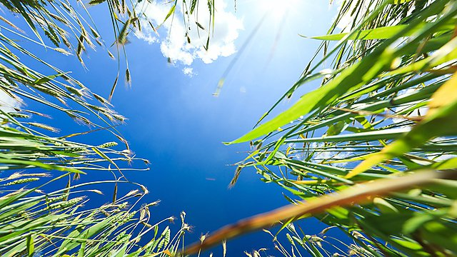 <p>Wheat and sky stock image</p>