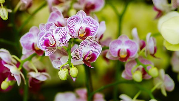 <p>Purple Orchid With Blooming Flowers And Leaves. Contrast Blurred Background<br></p>