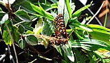 Rapid evolution fails to save butterflies from extinction in face of human-induced change