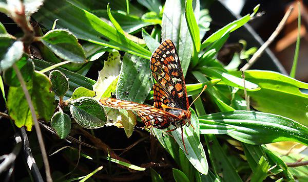 <p>An Edith's checkerspot butterfly on narrow-leaved plantain (Michael C Singer. University of Plymouth)<br></p>