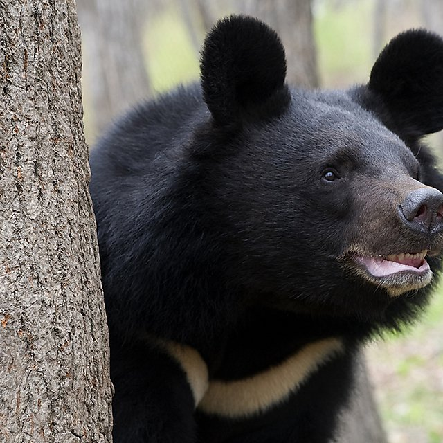 <p>Asiatic black bear in the natural environment of dwelling.<br></p>